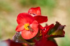 Prado del verano - abeja que recoge el néctar floral, macro grande del primer Imagen de archivo libre de regalías