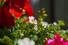 Prado del verano - abeja que recoge el néctar floral, macro grande del primer Imagen de archivo