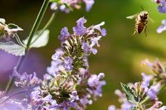 Prado del verano - abeja que recoge el néctar floral, macro grande del primer Fotografía de archivo libre de regalías