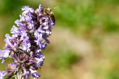 Prado del verano - abeja que recoge el néctar floral, macro grande del primer Foto de archivo
