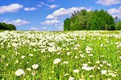 Prado del verano con muchas margaritas y cielo azul foto de archivo