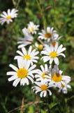 Prado del verano de las flores de la margarita Fotografía de archivo