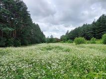 Prado del verano en las flores blancas del tiempo nublado imagen de archivo