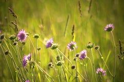 Prado del verano por completo de las flores del jacea del Centaurea Imagen de archivo libre de regalías