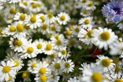 Prado del Wildflower Fotografía de archivo libre de regalías