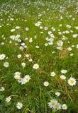 Prado del Wildflower Fotografía de archivo