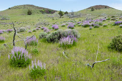Prado del WIldflower con lupines púrpuras Foto de archivo libre de regalías