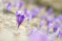 Prado do açafrão de florescência Imagem de Stock Royalty Free