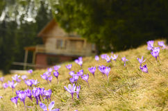Prado do açafrão e uma casa nas madeiras Foto de Stock Royalty Free
