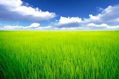 Prado do arroz Fotos de Stock