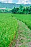 Prado do arroz Fotografia de Stock Royalty Free