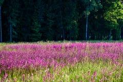 prado do campo dos plenos verões com flores Imagens de Stock