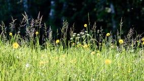 prado do campo dos plenos verões com flores Fotografia de Stock Royalty Free