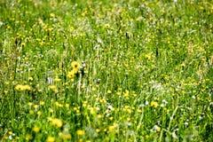 prado do campo dos plenos verões com flores Imagens de Stock Royalty Free