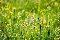 prado do campo dos plenos verões com flores Foto de Stock