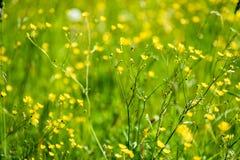 prado do campo dos plenos verões com flores Fotos de Stock Royalty Free