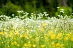 prado do campo dos plenos verões com flores Foto de Stock Royalty Free