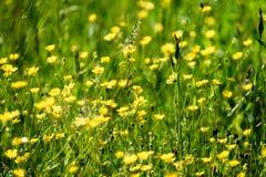 prado do campo dos plenos verões com flores Imagem de Stock Royalty Free