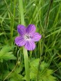 Prado do gerânio na grama Flor roxa foto de stock