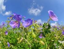 Prado do verão com pratense do gerânio das flores Foto de Stock