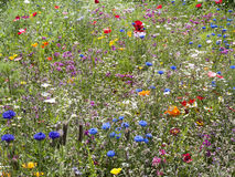 Prado do Wildflower Foto de Stock Royalty Free