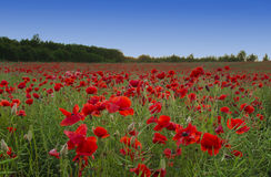 Prado do Wildflower com papoilas fotos de stock royalty free