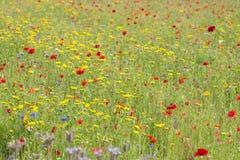 Prado do Wildflower no verão Fotos de Stock