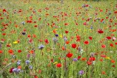 Prado do Wildflower no verão Foto de Stock Royalty Free