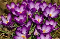 Prado dos açafrões violetas com grama verde Fotos de Stock