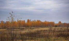 Prado e floresta do vidoeiro no final da queda imagens de stock royalty free