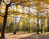 Prado en bosque del roble y del abedul en otoño Imagen de archivo libre de regalías