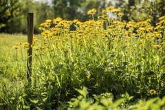 Prado en día soleado con vallas de estacas de madera y flores amarillas Foto de archivo libre de regalías