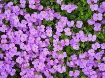 Prado enchido com a vegetação rasteira roxa Fotografia de Stock Royalty Free