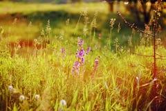 Prado floreciente con el wildflower en la puesta del sol Imágenes de archivo libres de regalías