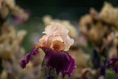 Prado floreciente de las flores del iris Foto de archivo libre de regalías