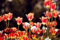 Prado floreciente del tulipán rojo, naranja y amarillo Imágenes de archivo libres de regalías