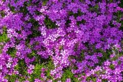 Prado floreciente rosado maravilloso de la primavera Fotografía de archivo