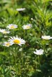 Prado floreciente verde con las margaritas blancas y la abeja de la miel Foto de archivo libre de regalías