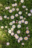 Prado floreciente verde con las margaritas blancas y la abeja de la miel Fondo natural Imagenes de archivo
