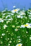 Prado: Flores de la manzanilla Foto de archivo libre de regalías