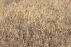 Prado gramíneo na imagem de fundo da estação seca Fotografia de Stock