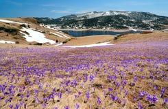 Prado del azafrán en montañas de la primavera Imagen de archivo libre de regalías