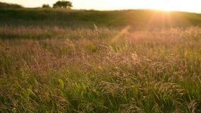 Prado hermoso con la avena salvaje en la puesta del sol en verano almacen de metraje de vídeo