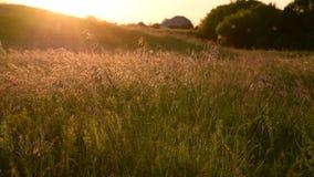 Prado hermoso con la avena salvaje en la puesta del sol en verano metrajes