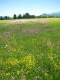 Prado hermoso con las flores salvajes, polje de la primavera de Planinsko Fotos de archivo libres de regalías
