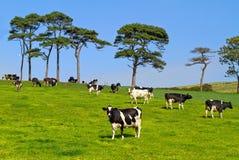 Prado idílico con las vacas Foto de archivo libre de regalías