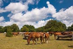 Prado, los caballos Fotos de archivo