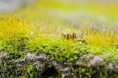 Prado macro do musgo Foto de Stock