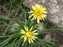 Prado modesto del salsifí de flores amarillas Foto de archivo