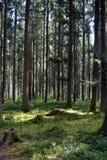 Prado na floresta do pinho Imagens de Stock Royalty Free